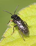 3 kleine schwarze wespen tenthredinidae. Black Bedroom Furniture Sets. Home Design Ideas