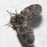 Schmetterlingsmücken Larven