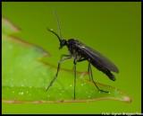 Schwarze Mücke