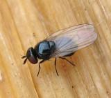 Kleine schwarze fliege lonchaeidae diptera for Kleine schwarze fliegen blumenerde