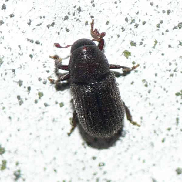 borkenk fer vom xyloterus signatus x lineatus hylurgops sp coleoptera. Black Bedroom Furniture Sets. Home Design Ideas