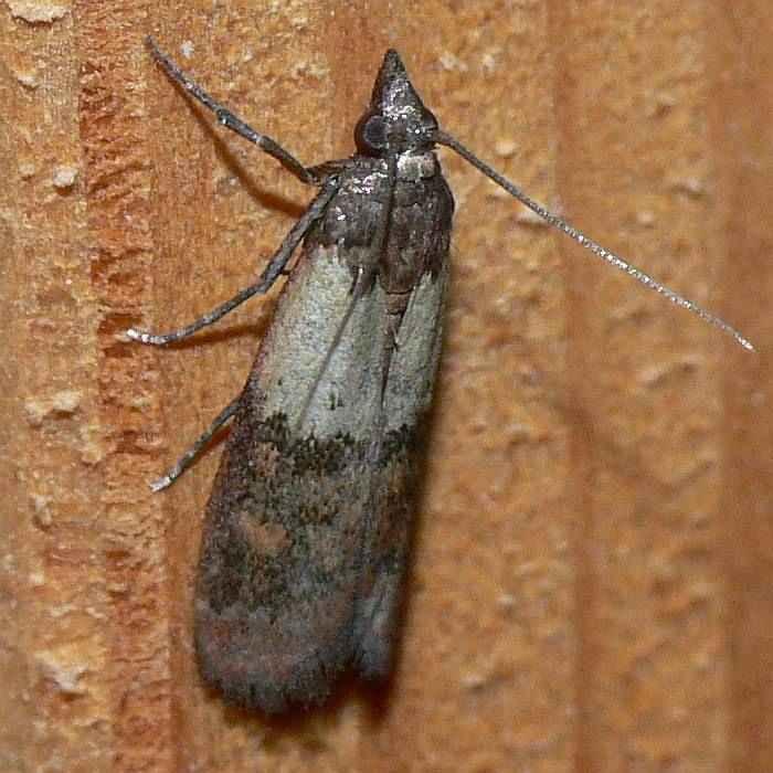 z nsler vom 14 lepidoptera falter tag und nachtfalter kleinschmetterlinge. Black Bedroom Furniture Sets. Home Design Ideas
