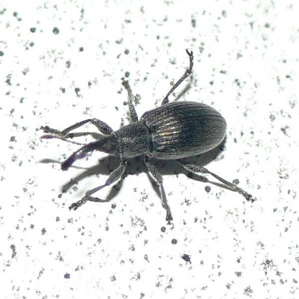 Spitzmauschen Apionidae Vom 06 05 11 Aspidapion Cf Radiolus